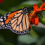 Powell Gardens Butterfly Festival – Kansas City